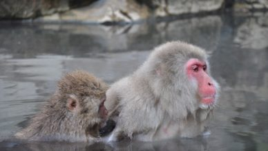 Yudanaka snow monkeys Magical Explorer