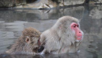 Yudanaka snow monkeys Magical Explorer